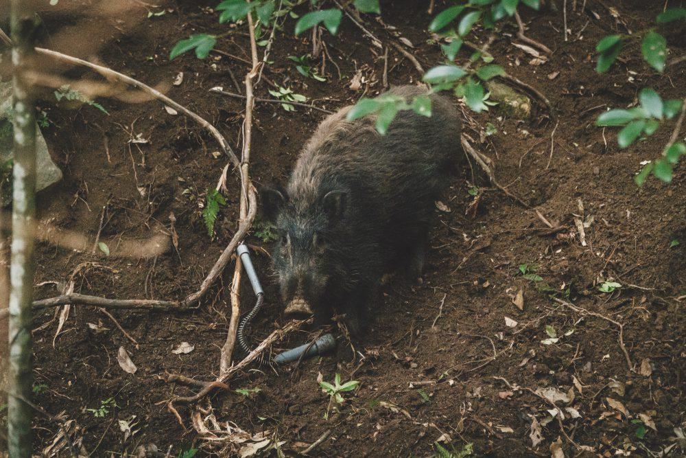ハンターのボクがイノシシ(猪)を罠で獲ったので友人に手伝ってもらって解体しました