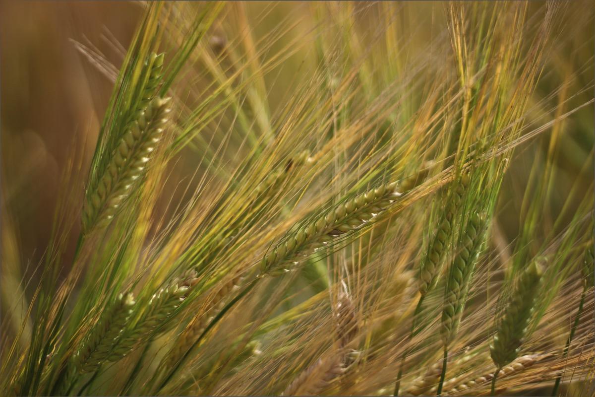 大麦が収穫の時期に。