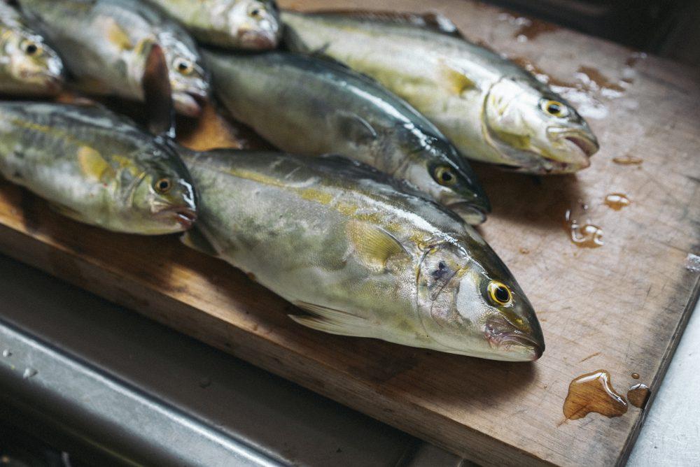 初夏から釣れ始めるカンパチの幼魚『シオ(ショゴ)』釣りが楽し過ぎる