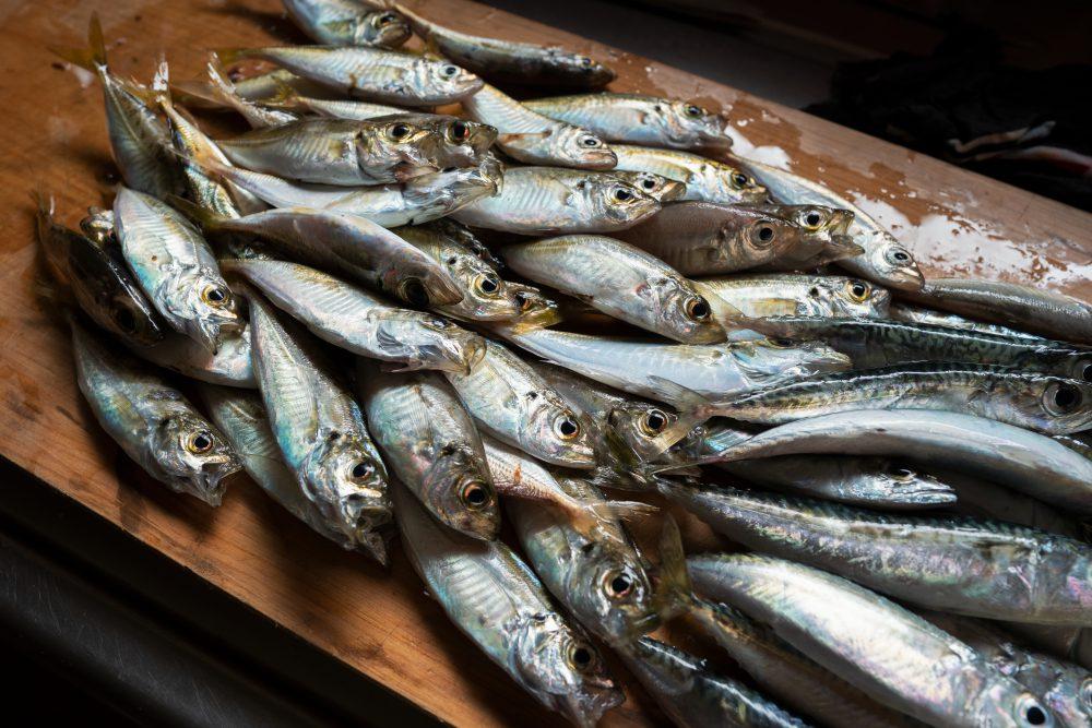 【田舎暮らし】夏に漁港などで釣れる魚たち 10選+おまけ