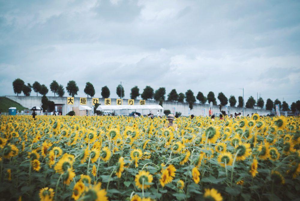 SONY α7シリーズとオールドレンズで楽しむ「大垣市のひまわり畑」