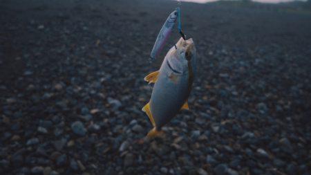 カンパチ(シオ)を釣るシオゲーが流行の予感
